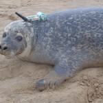 SCIENTISTS SUCCESSFULLY LOG INTO MARINE SMARTPHONES WORN BY HARBOUR SEALS