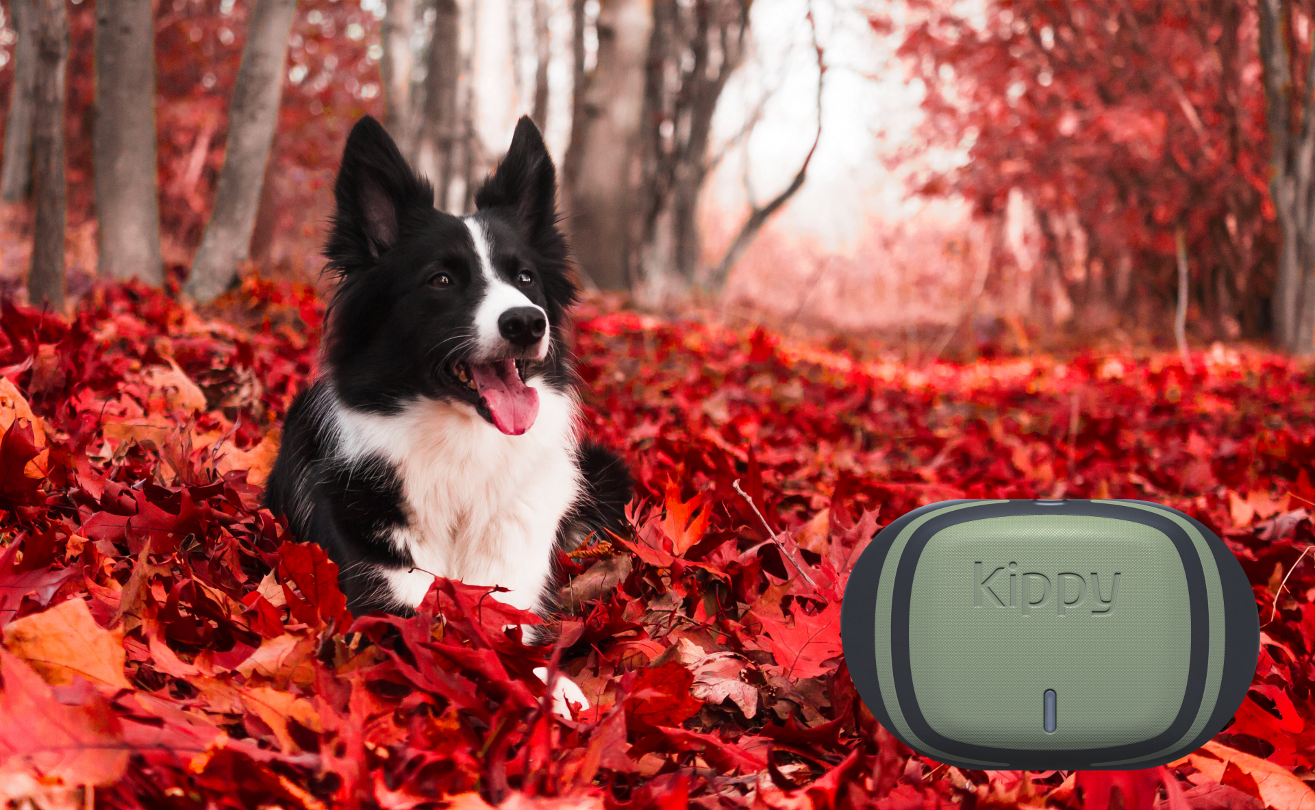 Collie dog lying in leaves with overlay of V-Pet tracker
