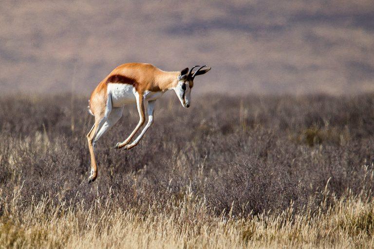 Springbok pronking